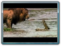 Lion Intimidates Crocodile