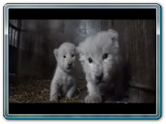 White Lion Cubs birth part 1 - actual birth
